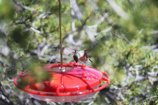 A Broadtail gets some food